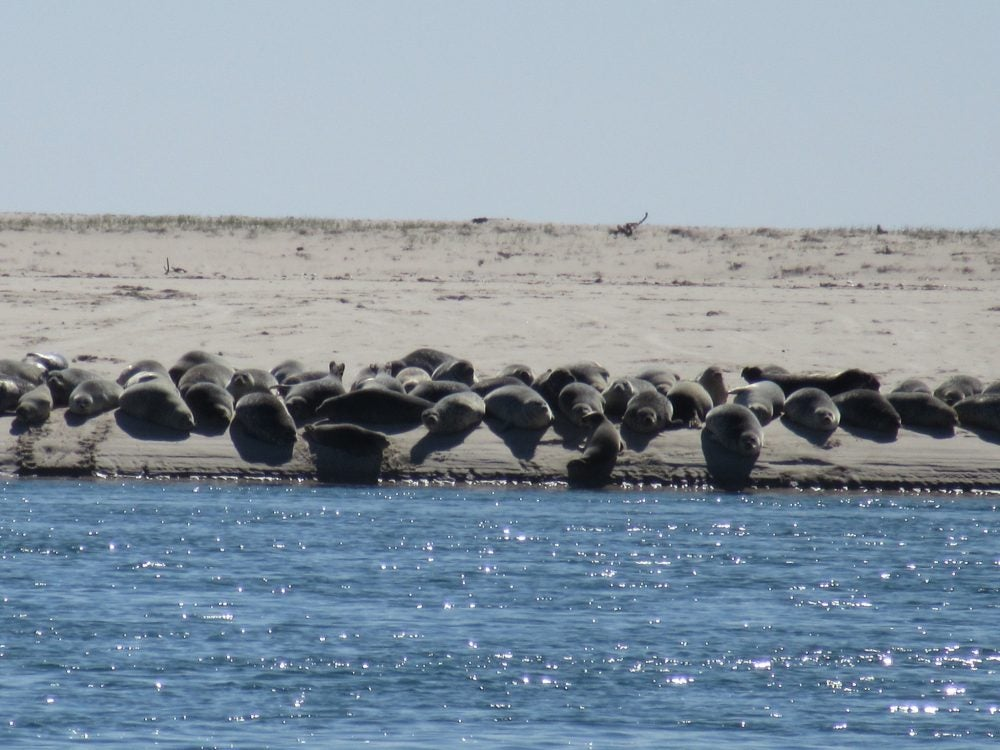 Sea Lions lined up along the shore at West Falmouth in Cape Cod