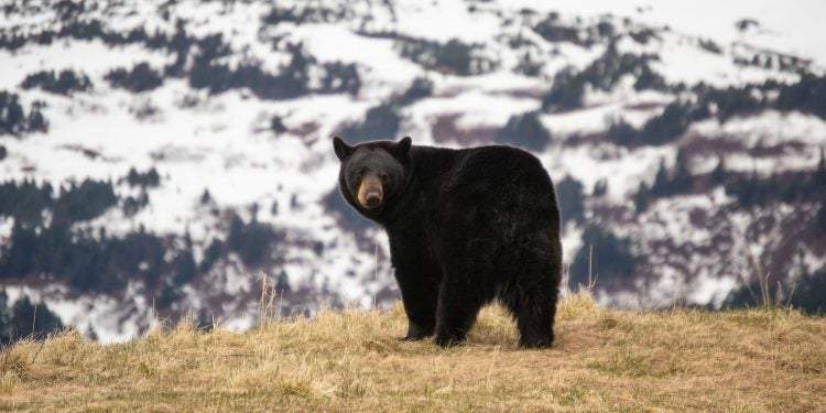 black bears in colorado during winter