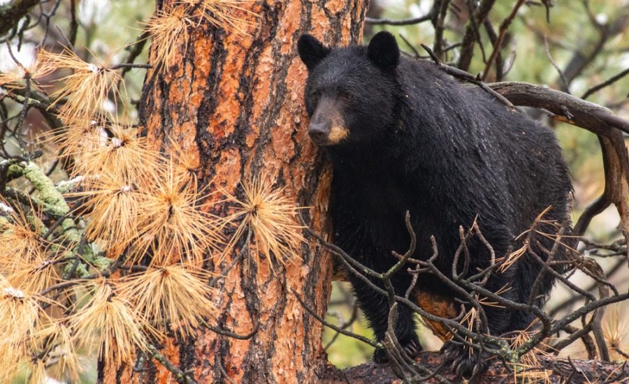 black bear sow in a colorado pine tree