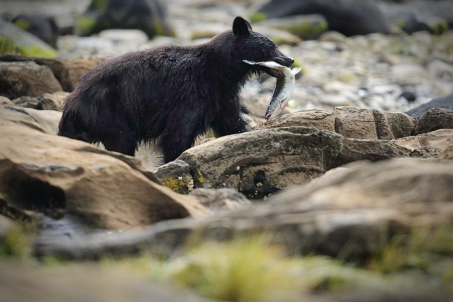 black bear cub enjoys a freshly caught fish