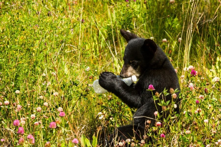 black bear cub chews on a piece of trash in wildflowers