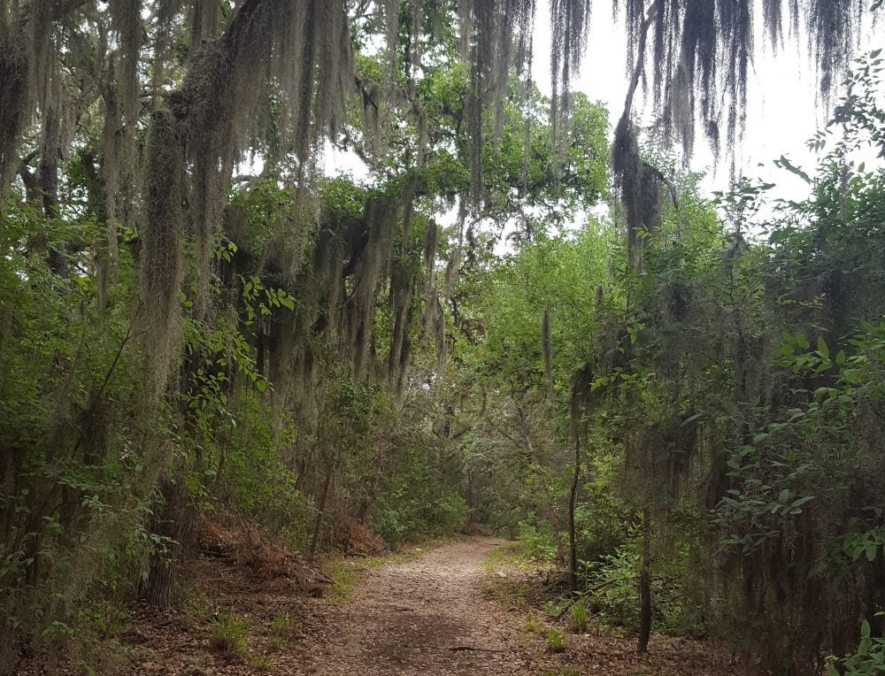 Trees with Spanish moss sit beside a hiking path