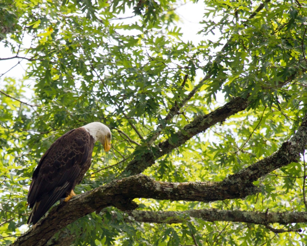 Bald eagle looking for prey in a tree