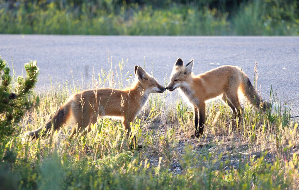 Two foxes touching noses in grassland
