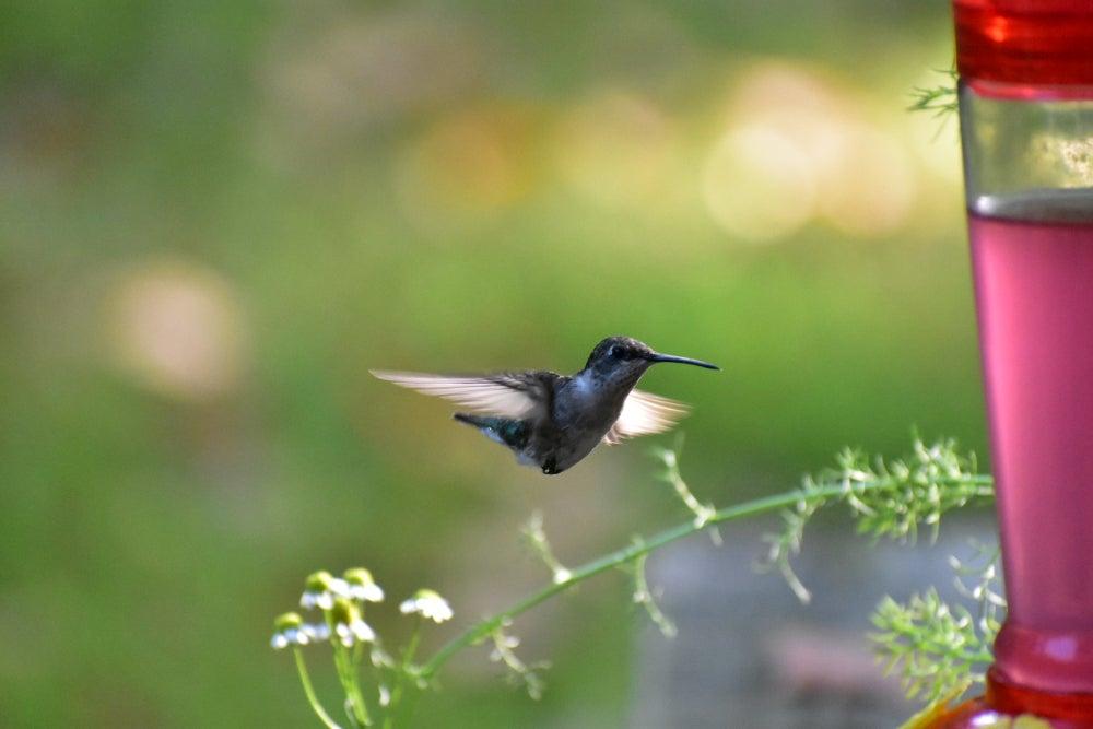 Hummingbird getting food from feeder