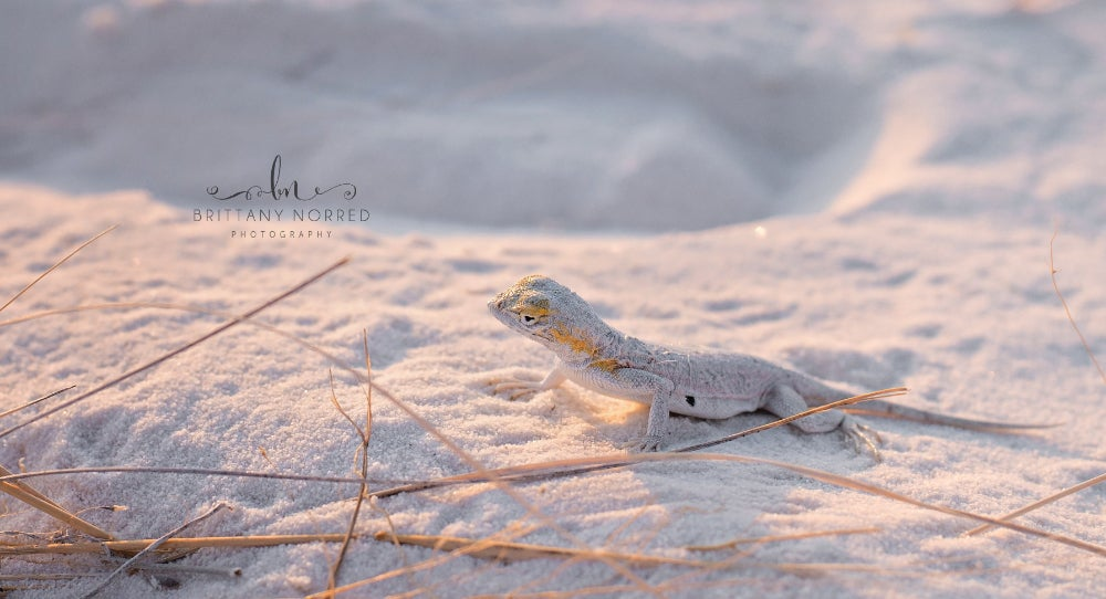 Lizard in White Sands National Park