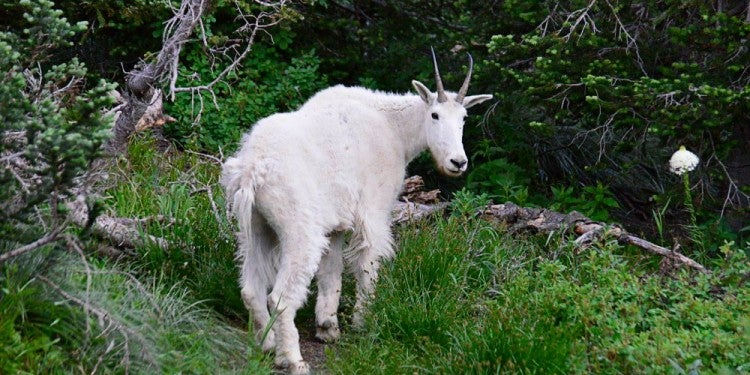 a wildlife photo of a mountain goat
