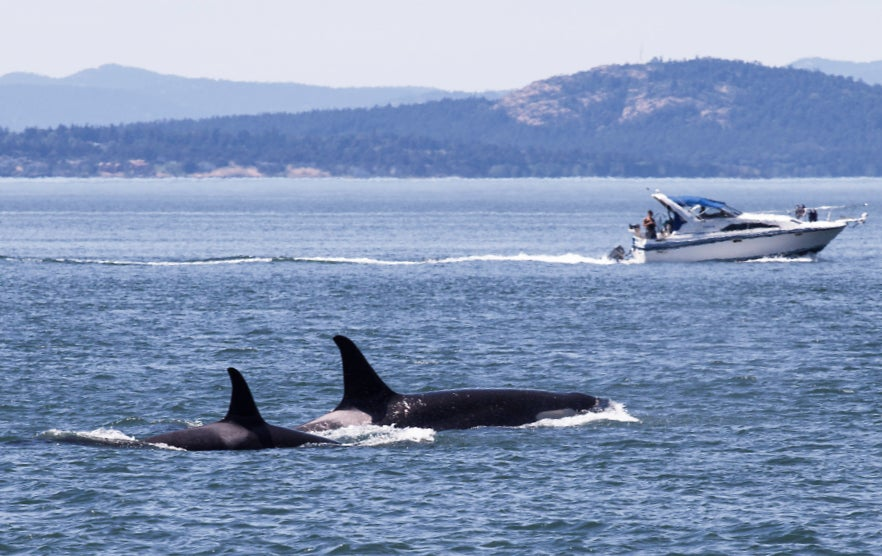Orcas in the ocean near a boat in the San Juan Islands