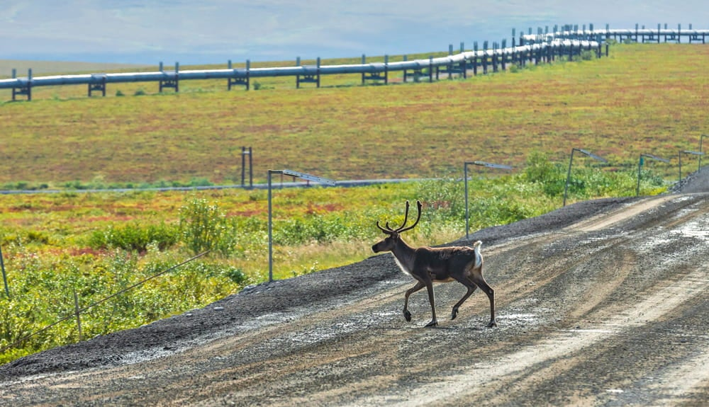A caribou crosses the Dalton Highway with trans alaskan pipeline in background