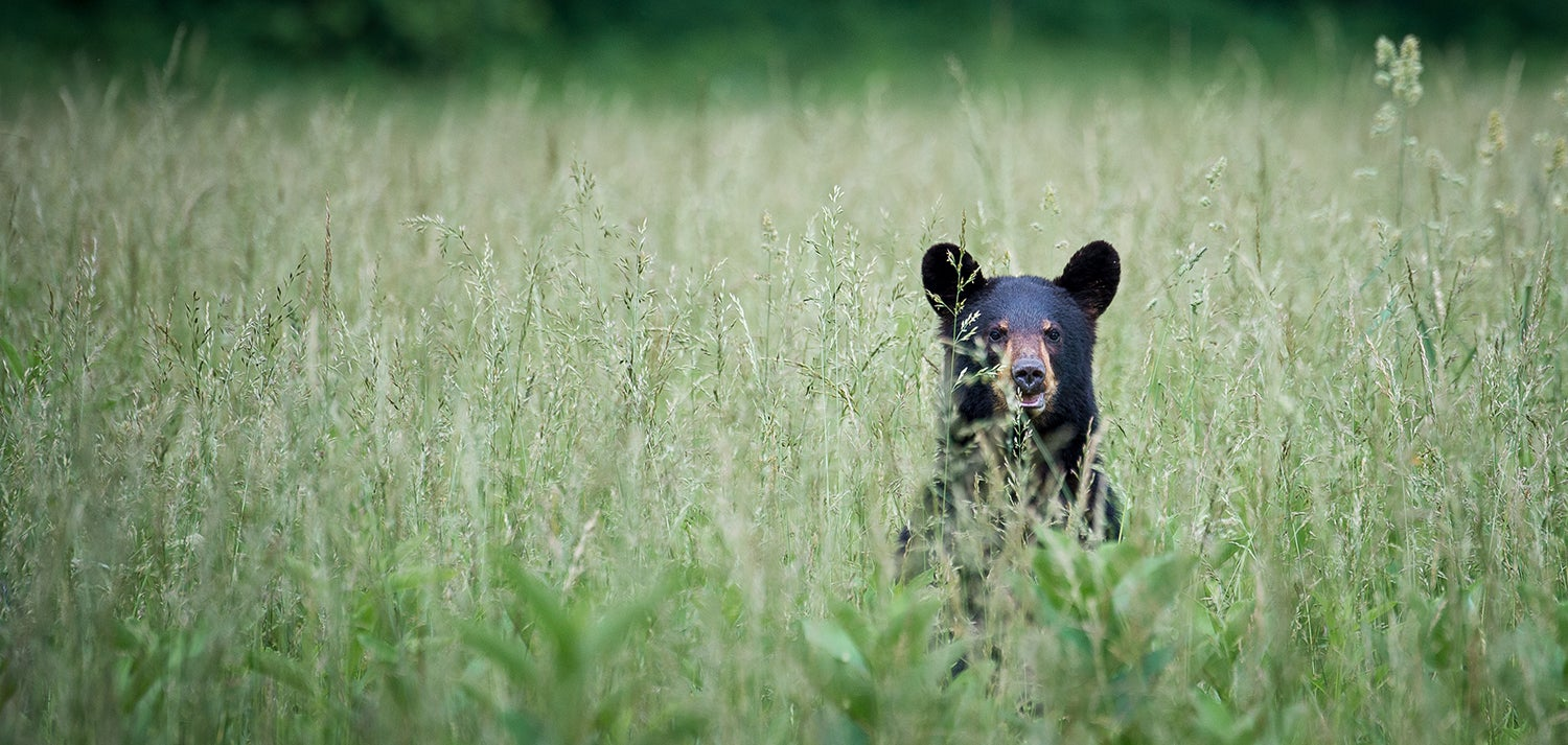 black bear peeks above tall grass in a smoky mountain field