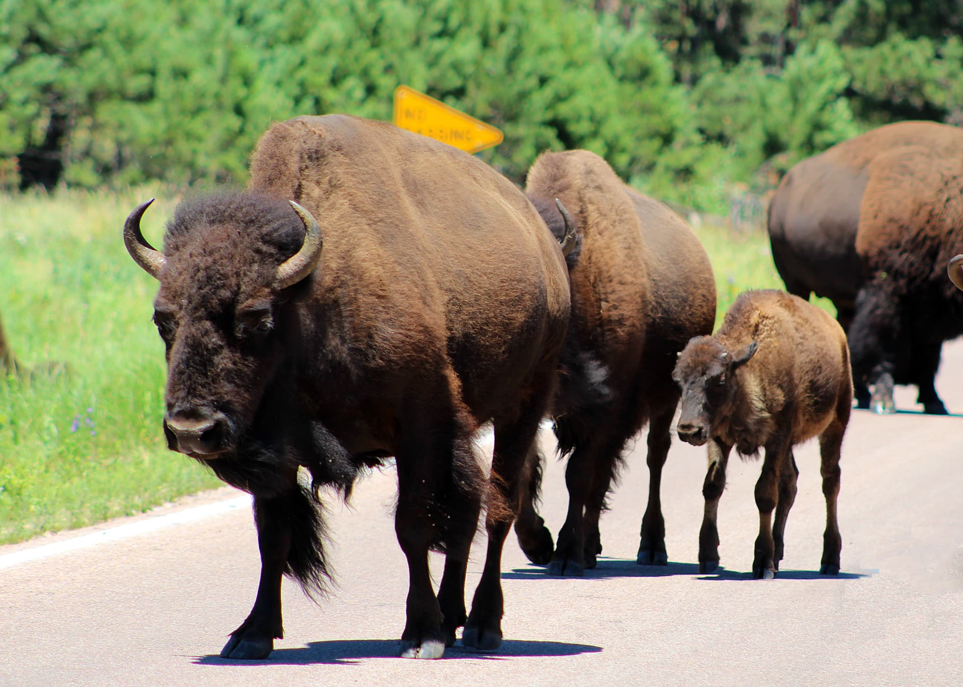 adult buffalo and calf on road near mount rushmore
