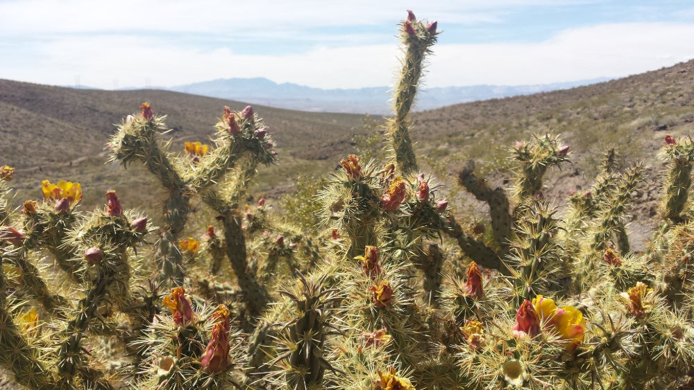 Photo of flowering cholla cacti with arid mountains in background.