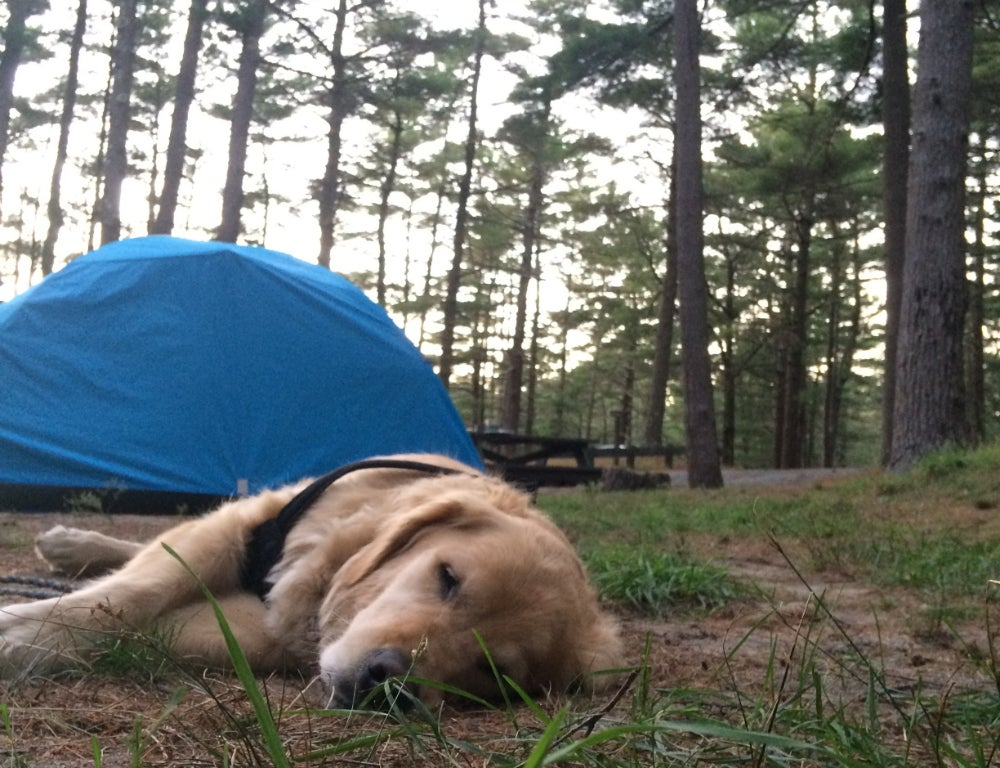 worms eye view of dog sleeping in the grass at Sippewisset campground