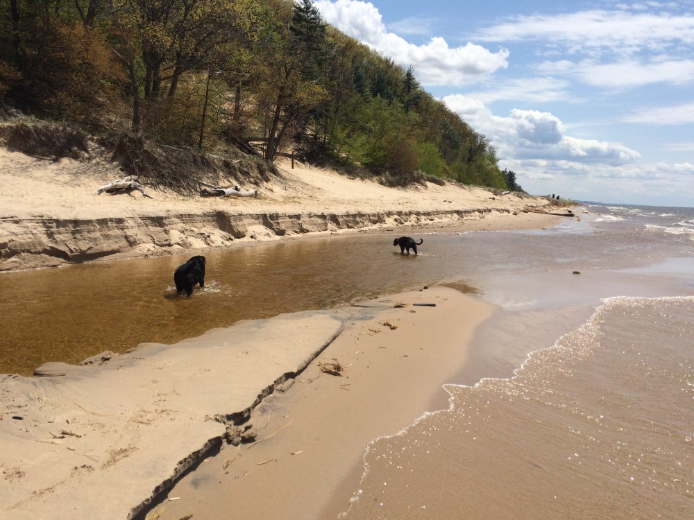 Two black dogs play in shallow beachy waters on a clear day