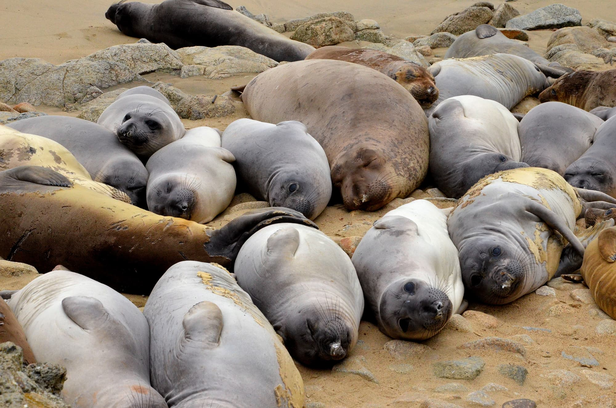 pod of elephant seals of all sizes lying on sandy beach in california