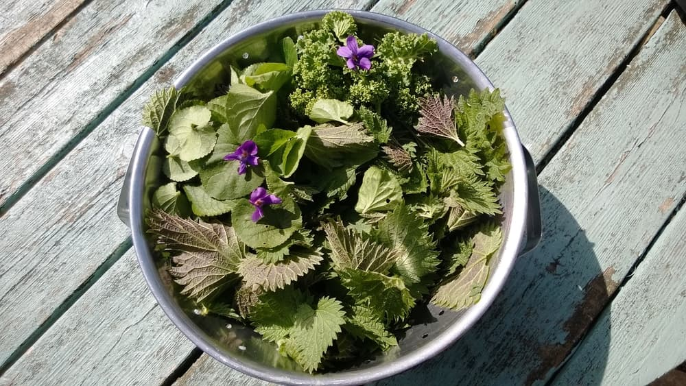 Close up of a metal colander bowl of nutritious foraged edible organic flowers and plants from a home garden