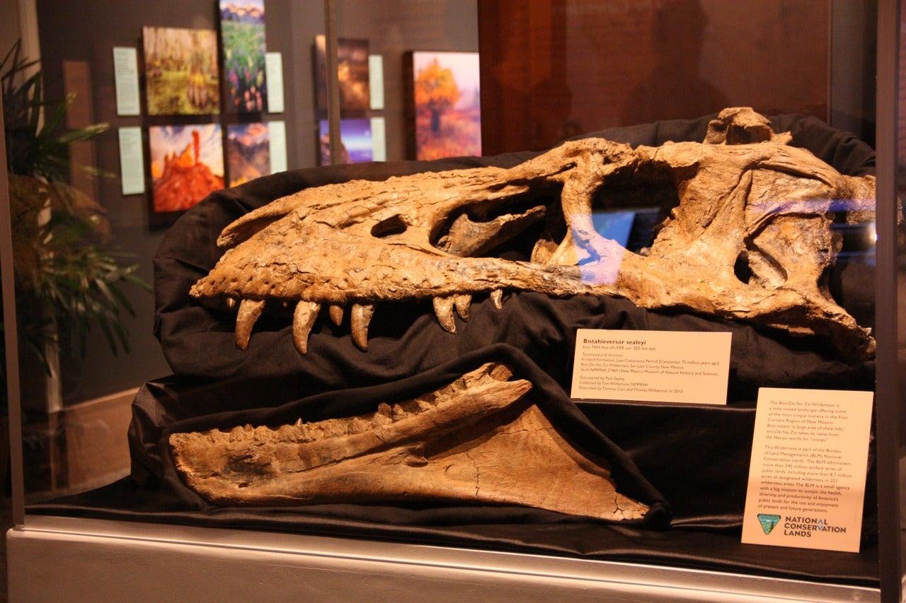 a dinosaur skull behind a glass window in a museum near the bisti badlands