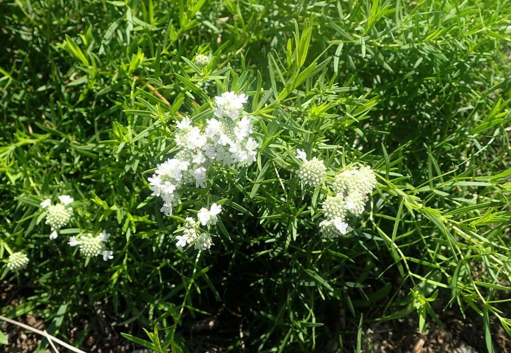 a bush of thin leaf mountain mint grows in a forest with a bloom of white flowers on the end of the bush's stems