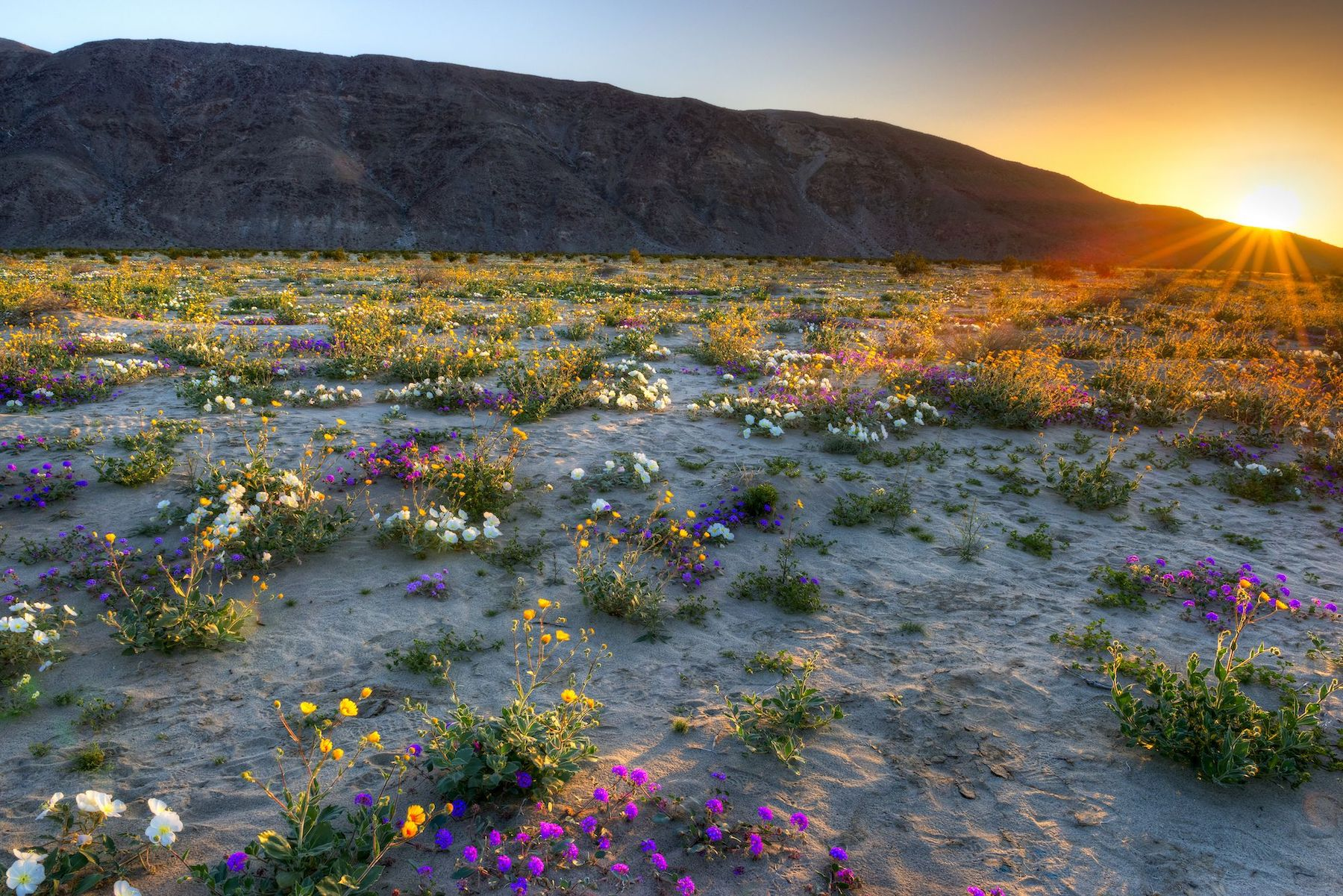 sun setting with rays casting on wildflowers during an anza-borrego superbloom