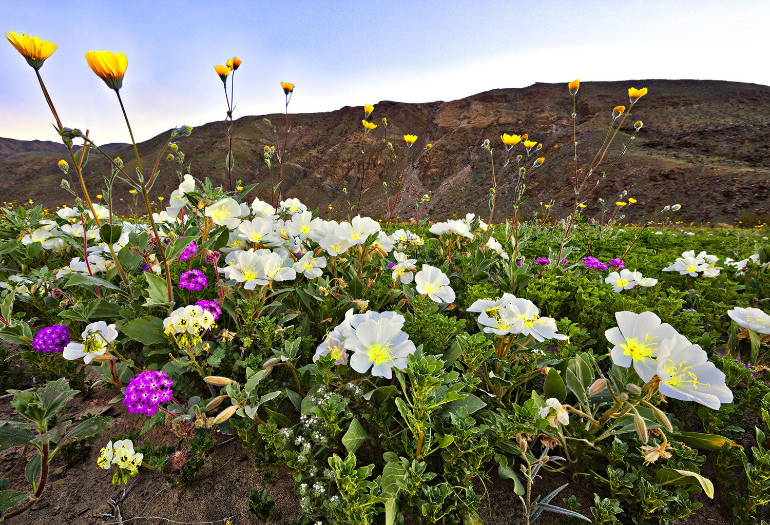 closeup of vibrant wildflowers in the anza-borrego desert