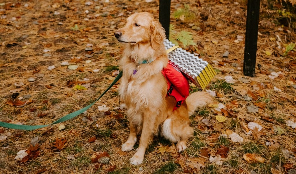 a golden retriever on a forest floor sits ready for a hike with a pet first aid kit strapped to its back