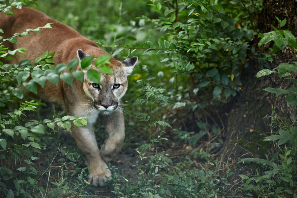 a mountain lion walking out of a bush in the green wilderness