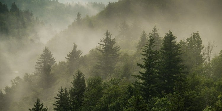 Landscape of the Great Smoky Mountains with fog sitting above pine trees.