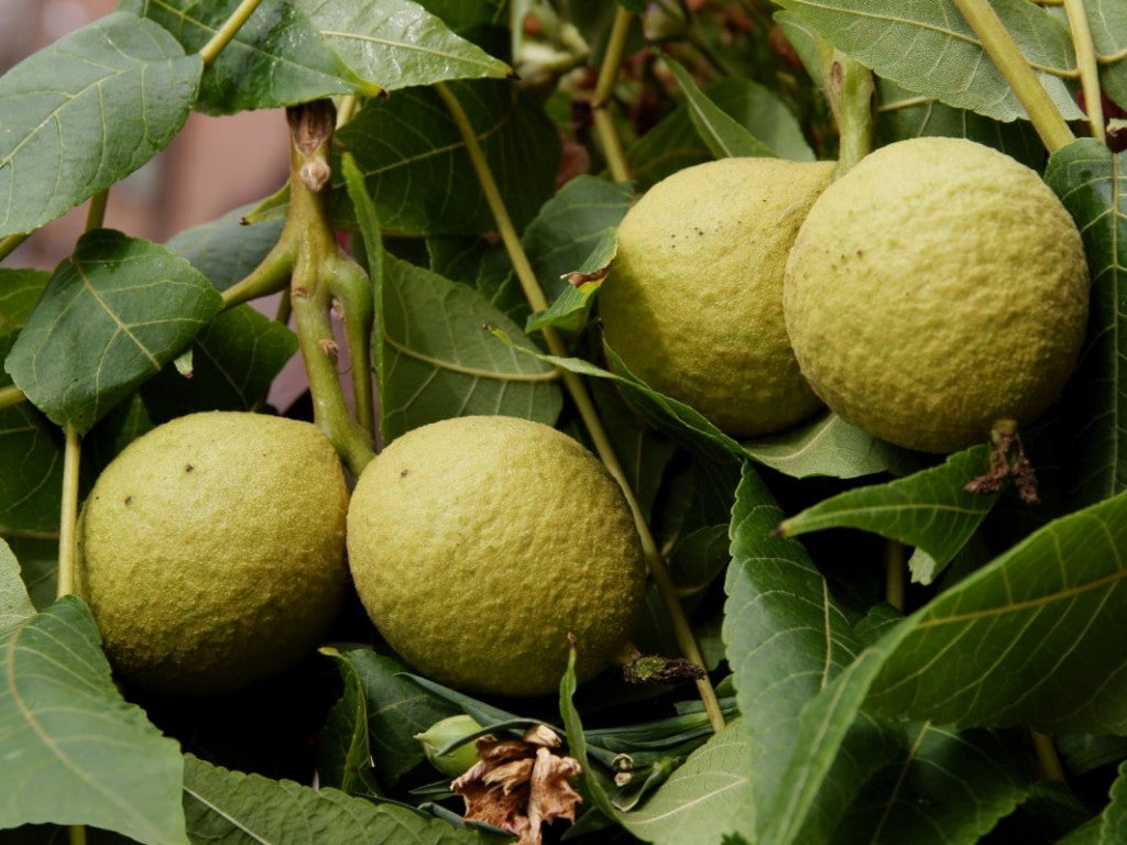 a close-up shot of four unripened black walnuts on a vine of green leaves