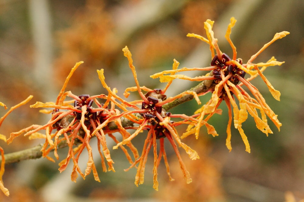 a close up image of american witch hazel on a branch with a tree behind it