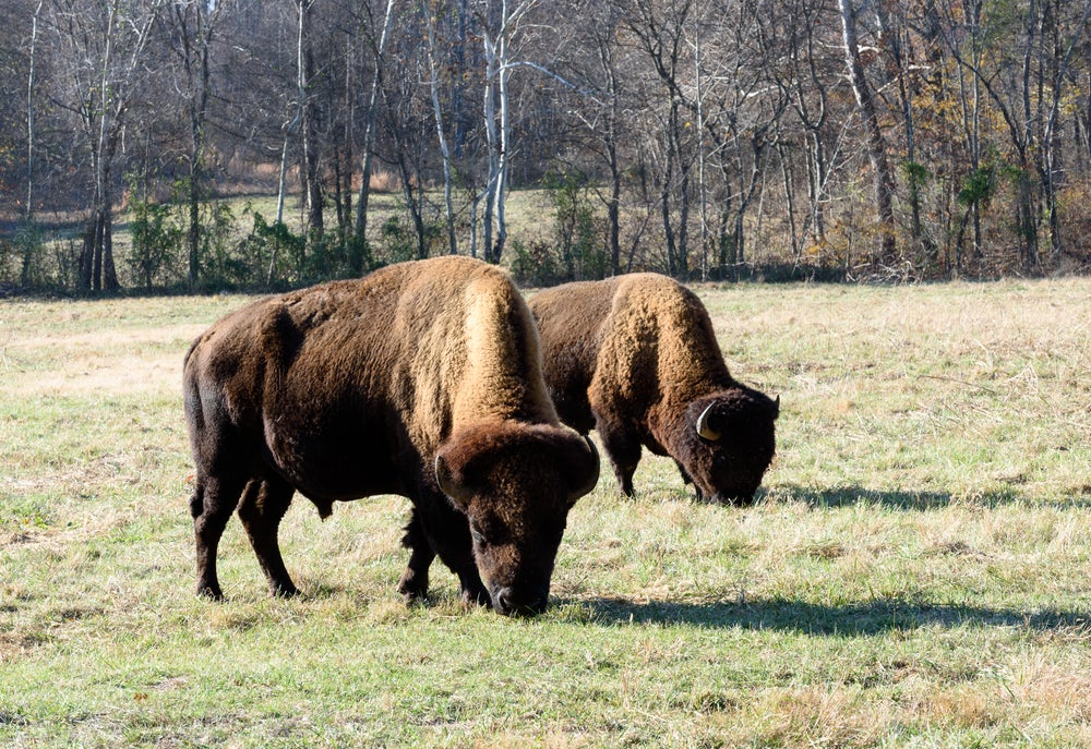 Two bison graze in a field on a sunny day in front of a small brushy wooded area.