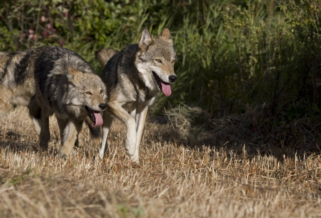 two grey wolves run side by side on a dry brush field in Wyoming