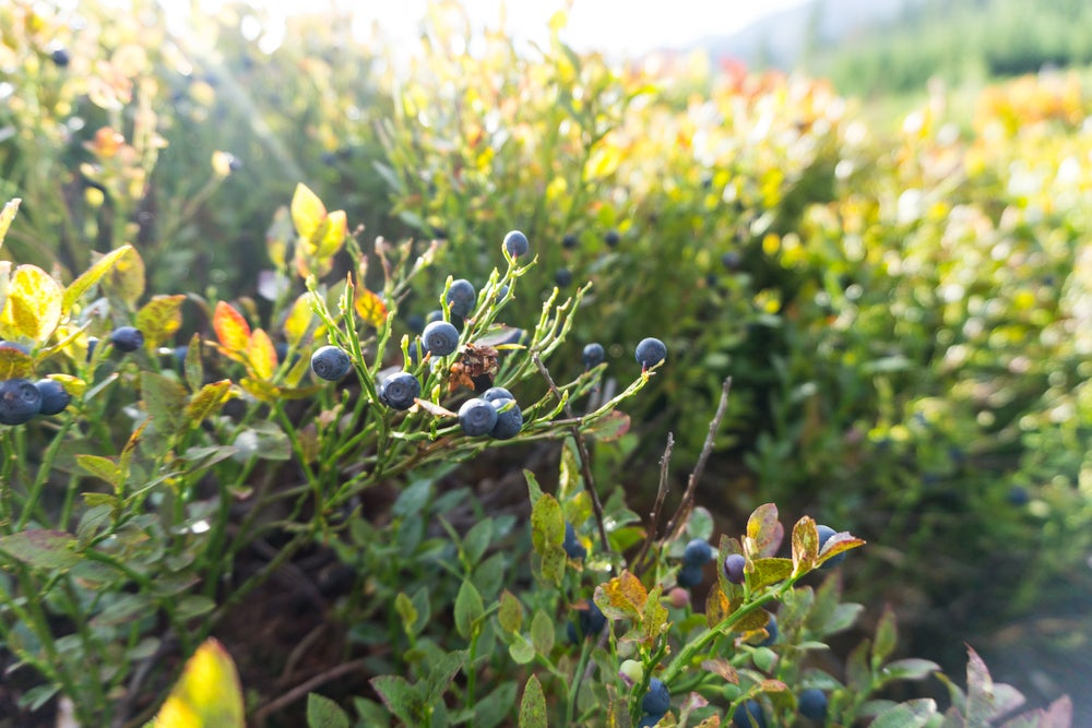 the sun shines on bushes with sprouting wild blueberries on them
