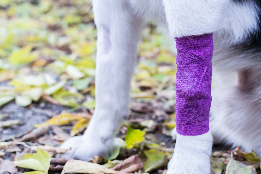a close up image of the legs of a white dog, one leg wrapped in a purple bandage