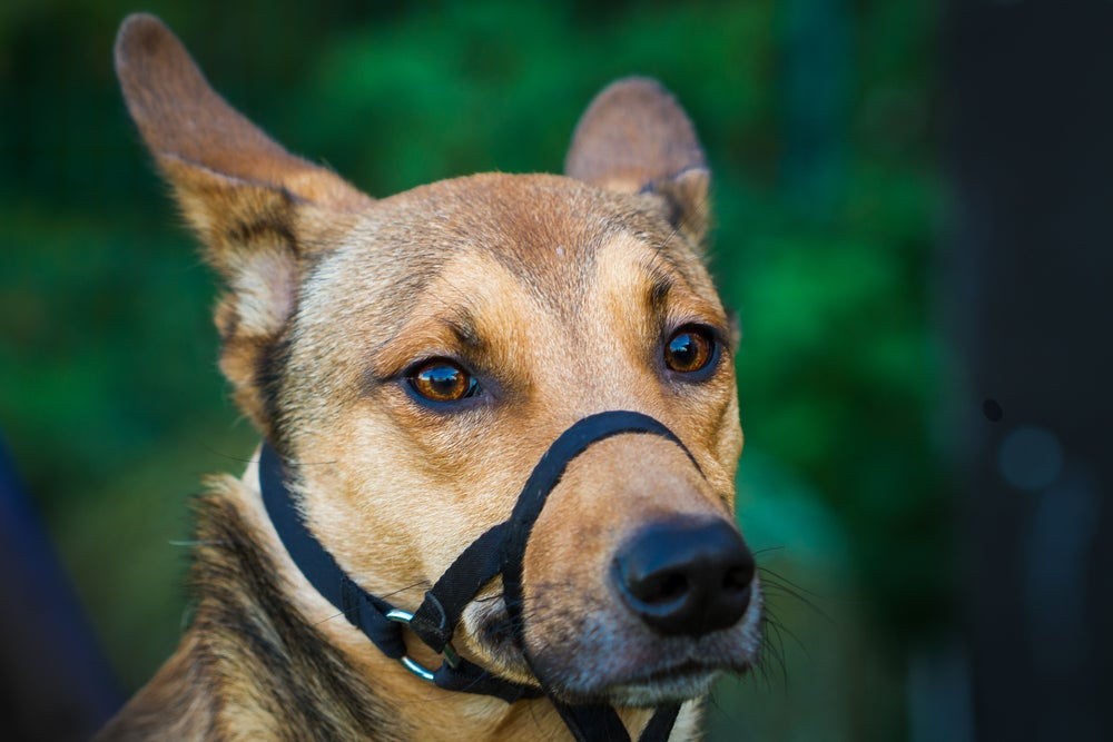 German shepherd looking calm with its ears back wearing a black nylon muzzle