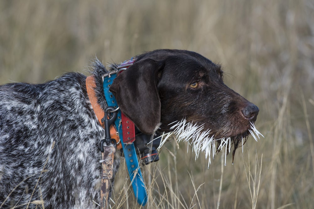 Brown speckled hunting hound with an orange collar and blue leash walking through a field with a snout full of white porcupine quills.