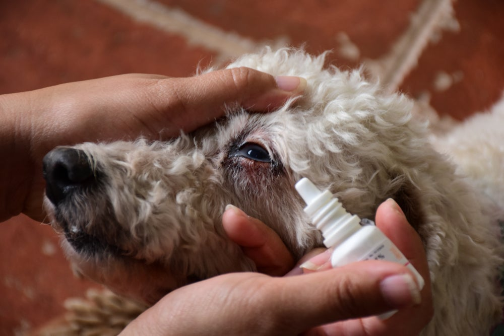 Furry white poodle whose head is being held by human hands as they prepare to apply eye drops