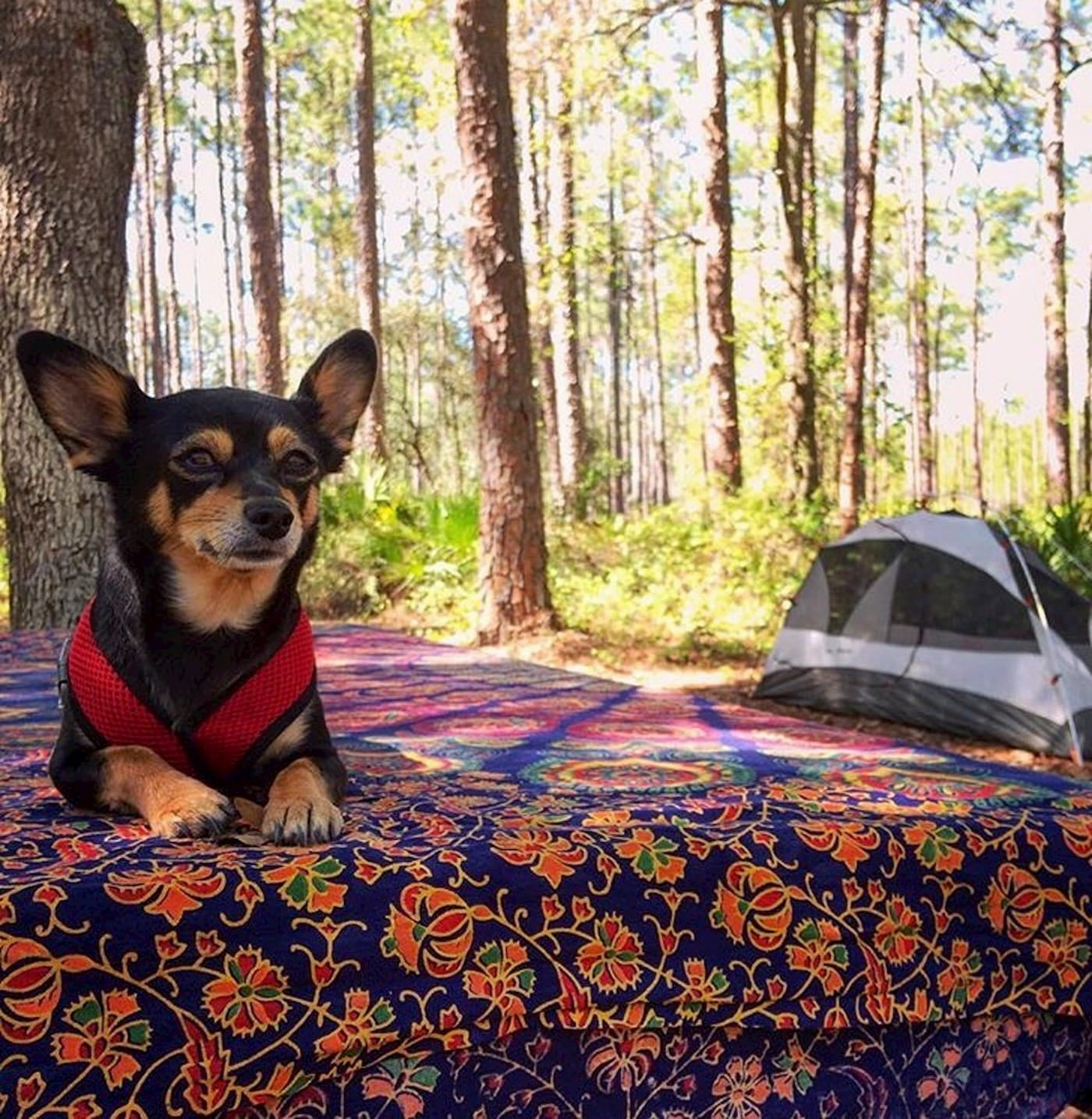 Small dog sitting on picnic table at a campsite.