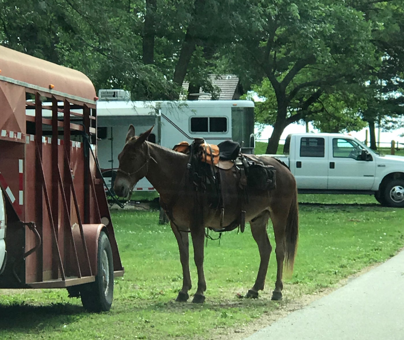 Saddled mule tied to the outside of a horse trailer at Lake of Three Fires Campsite.