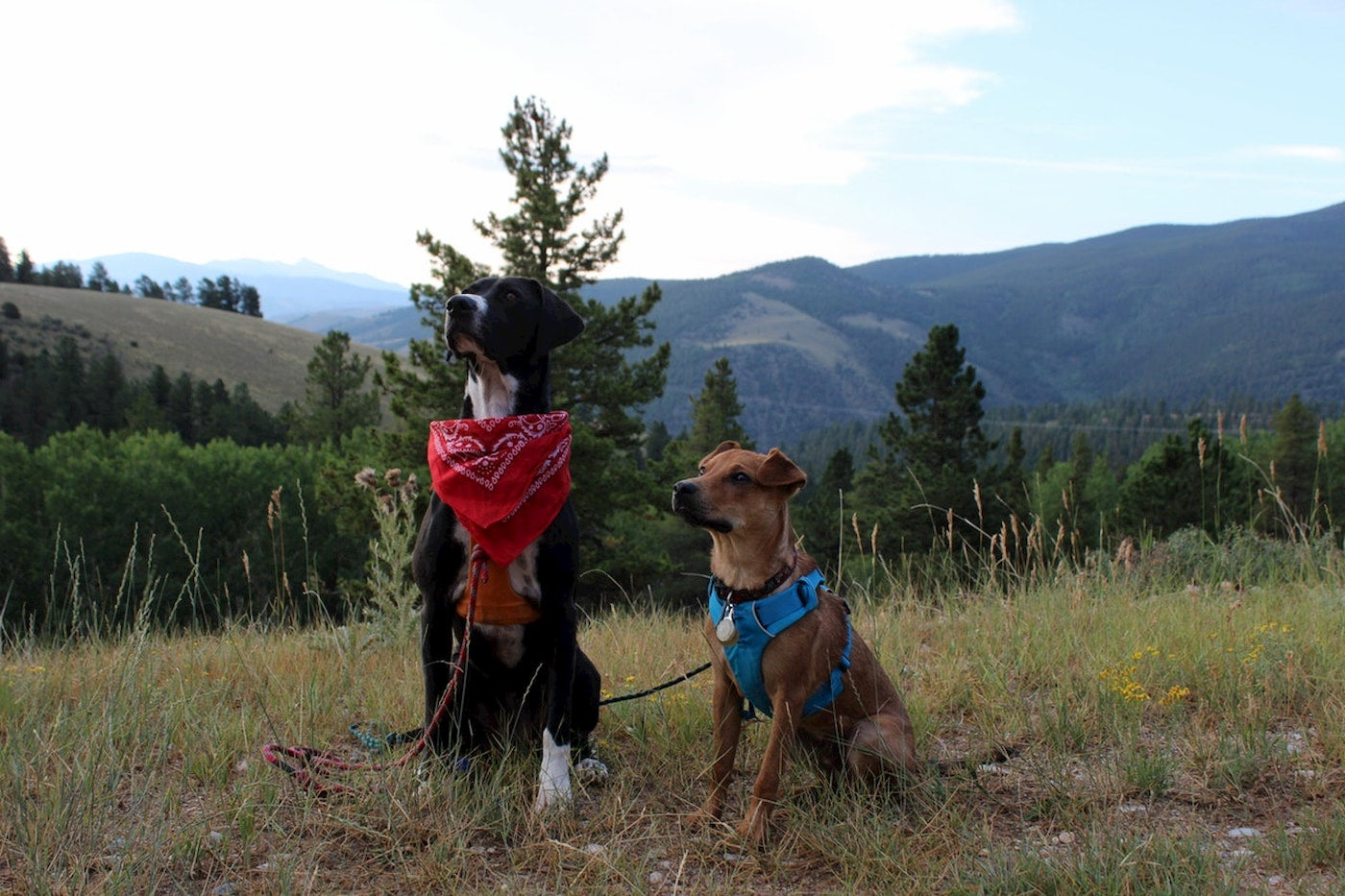 Two dogs sitting in a field mid hike with harnesses.