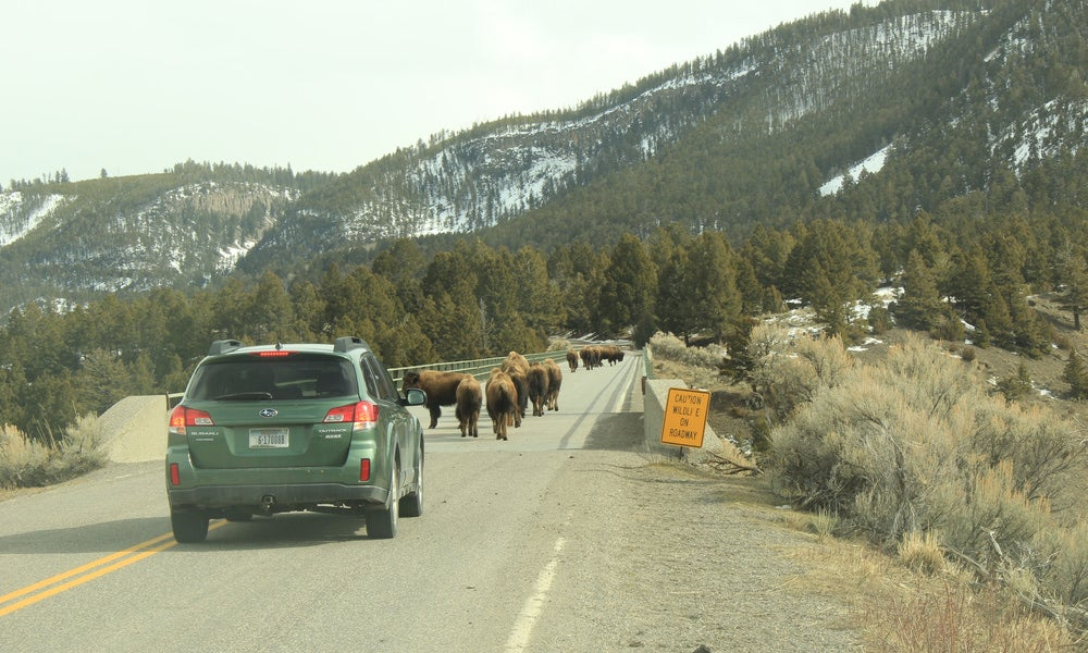 suv braking behind herd of young buffalo on an alpine highway