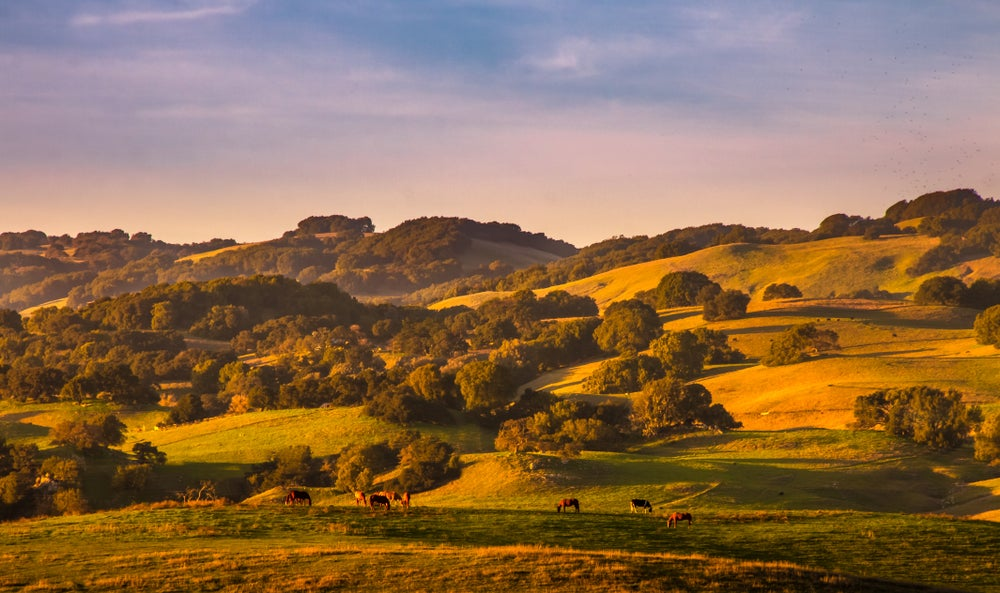 Horses grazing in the hills of California at sunset