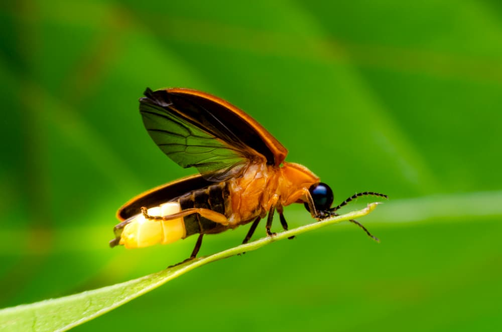close up macro shot of a firefly on a blade of grass