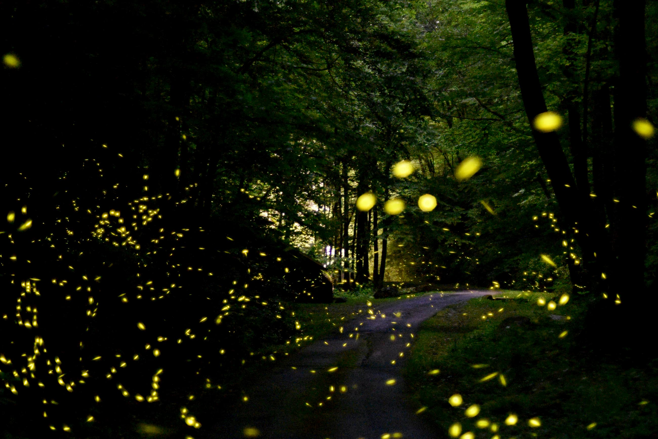 yellow illuminated dots swarm around as synchronous fireflies fly in thick, dark forest