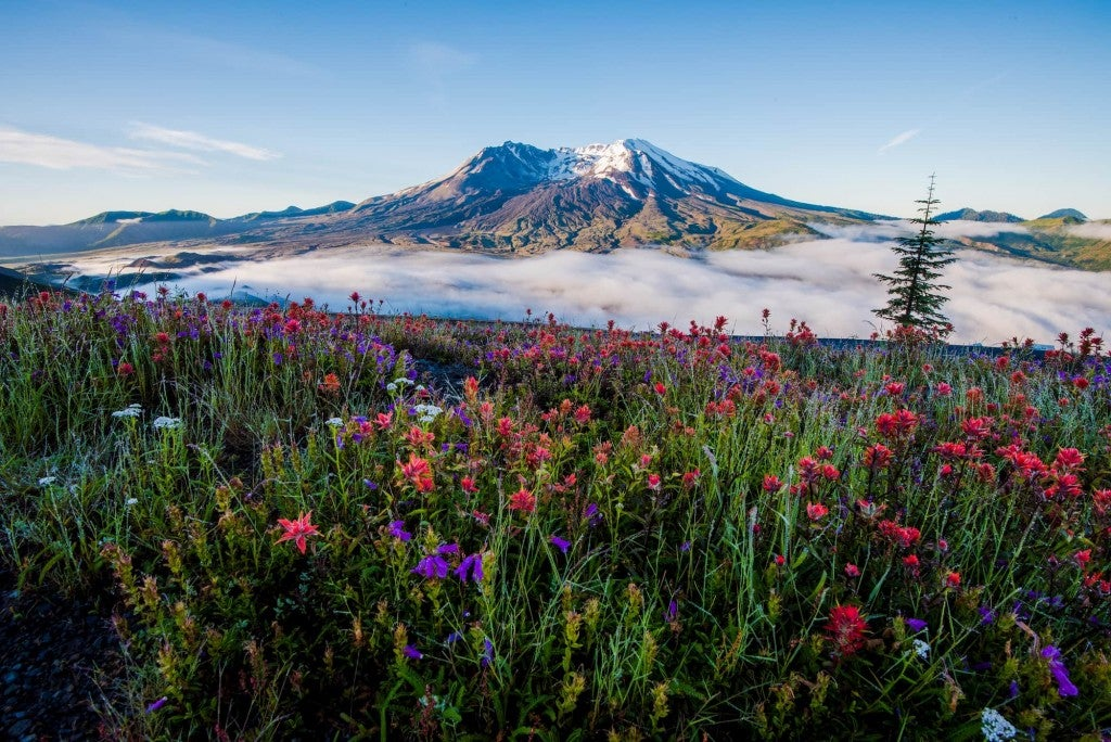 Mt. Saint Helens in background with pink and purple wildflowers in foreground