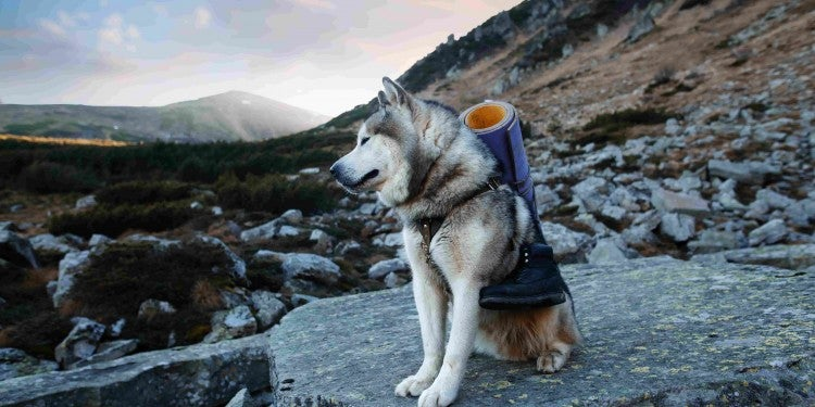 Husky hiking with a backpack and sleeping pad.