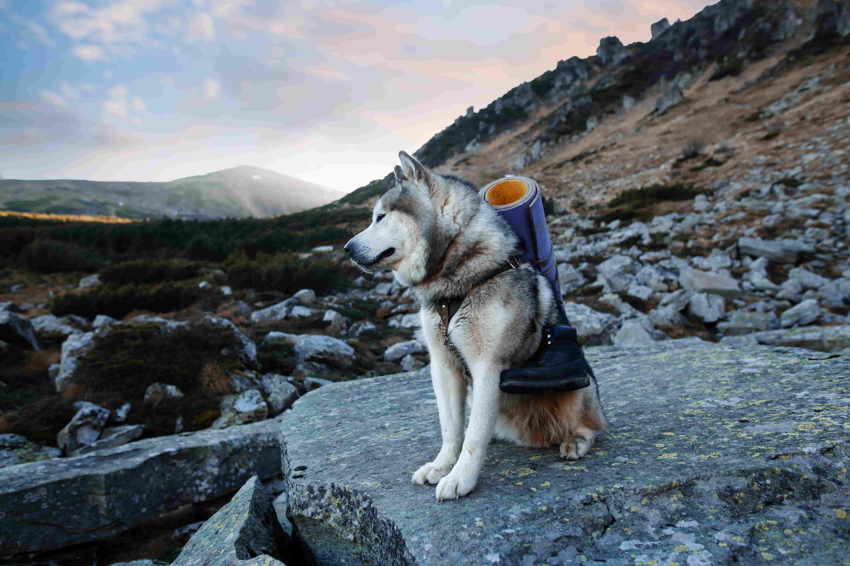 Husky hiking with a backpack and sleeping pad.