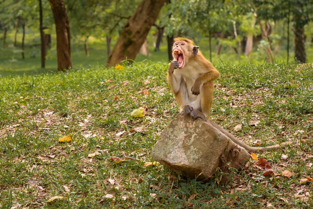 Macaque sitting on rock in park while bearing its teeth