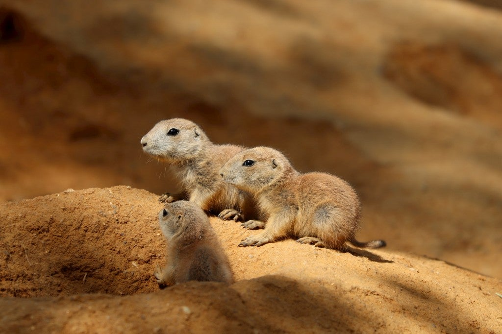 Three prairie dogs hanging out in the desert.