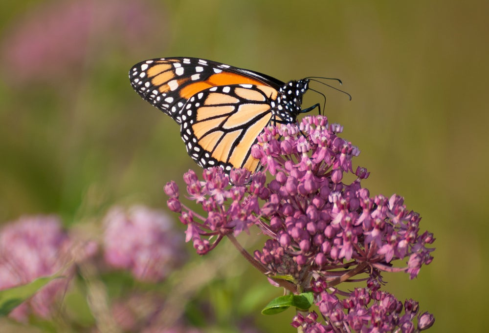 Monarch butterfly drinking nectar from a milkweed flower.