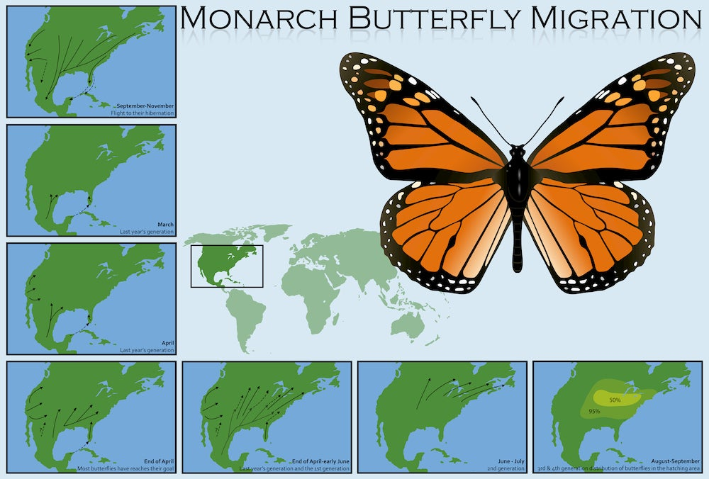 Diagram of the migration patterns of monarch butterflies.